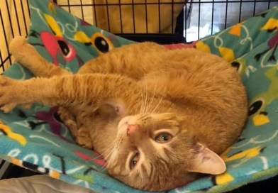 Cats for Foster or Adoption, With Feline Leukemia Virus