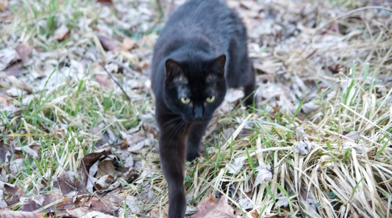 black cat in yard