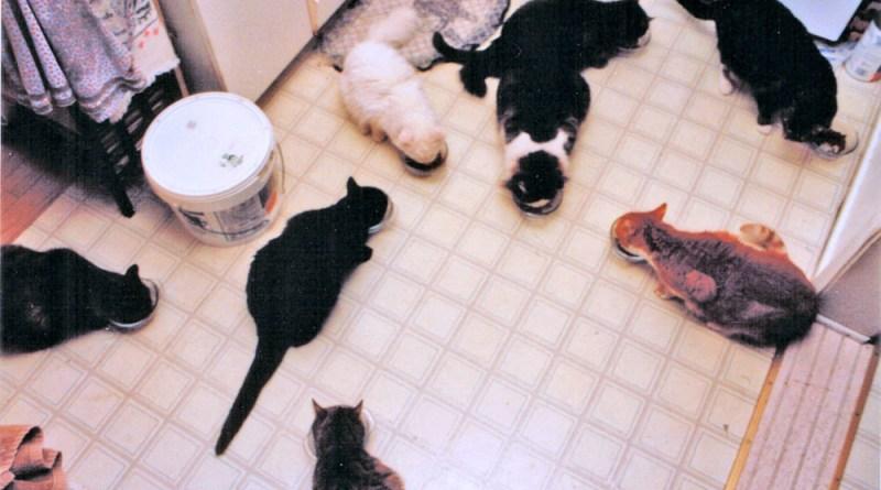 My household of nine cats enjoying dinner.