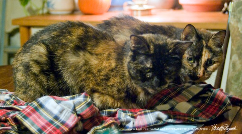 Cookie and Kelly cuddling.two tortoiseshell cats