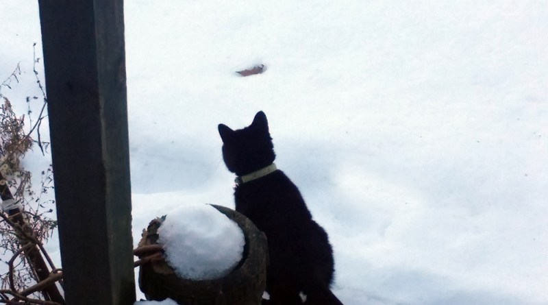 black cat with snow