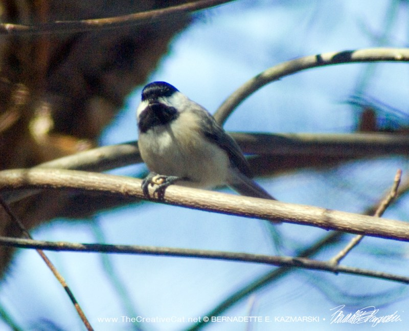 And a chickadee.