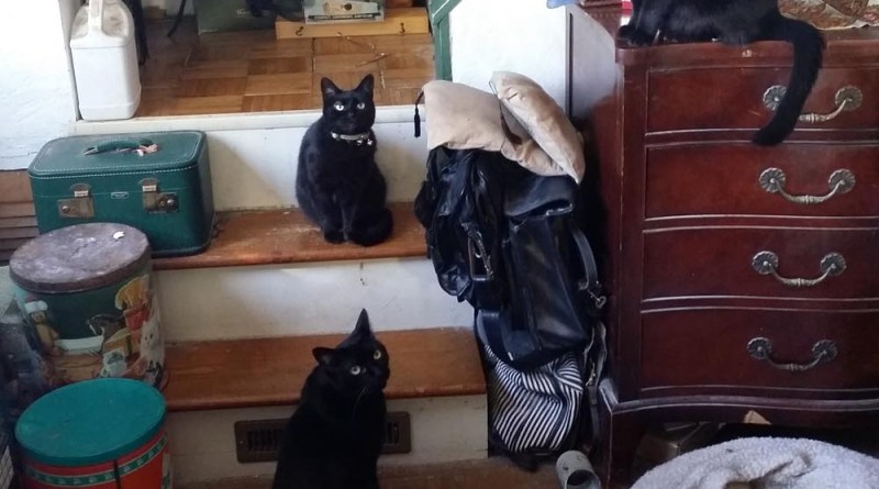 five black cats waiting to play