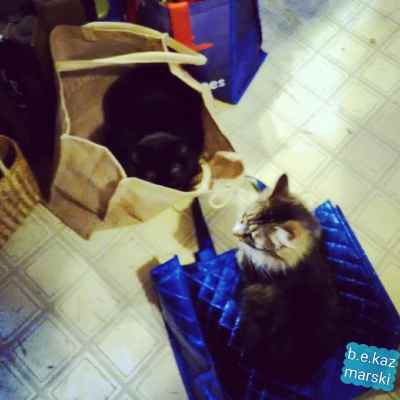 cats in shopping bags