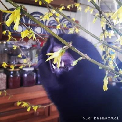 black cat with forsythia