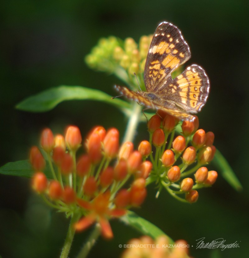 Silvery checkerspot on butterfly weed.