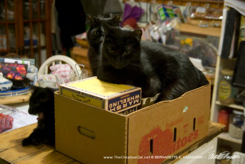 Basil keeps guard as Mr. Sunshine naps on the boxes in the box and Bella naps next to them.