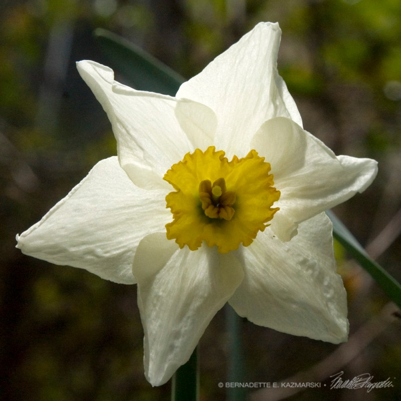 A special daffodil.