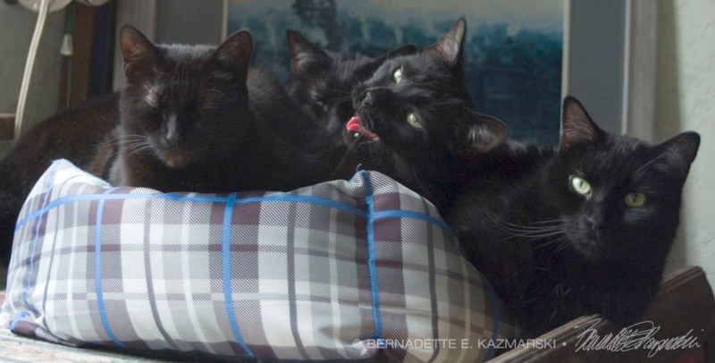 four black cats in cat bed