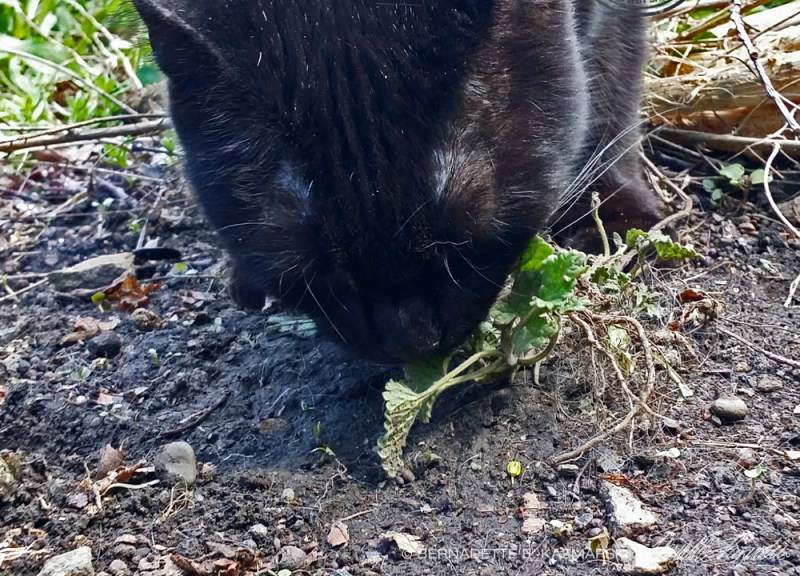 black cat with catnip plant