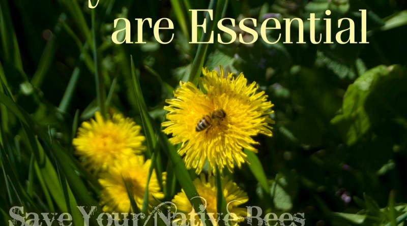 honeybee on dandelion
