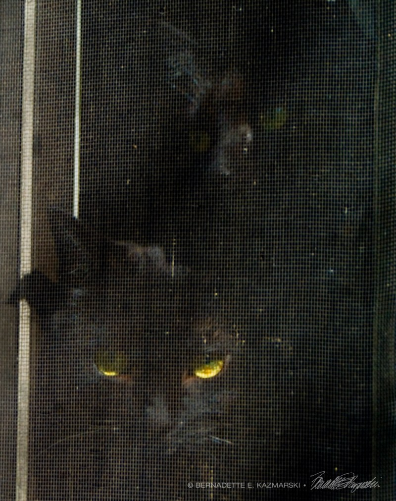 two black cats at window screen