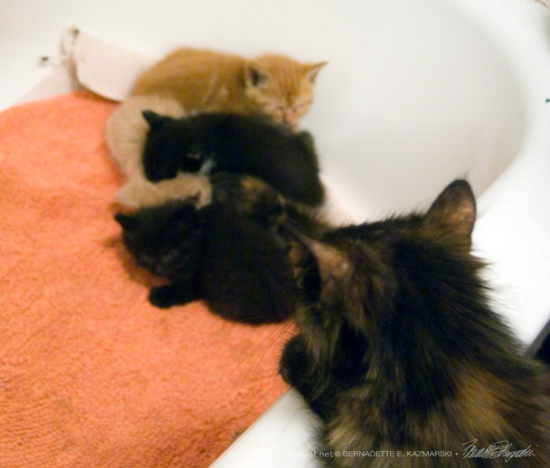 Charm looked into the tub to check on her kittens and they were fine.