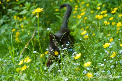 black cat in Mimi walks through the buttercups and forget-me-nots.