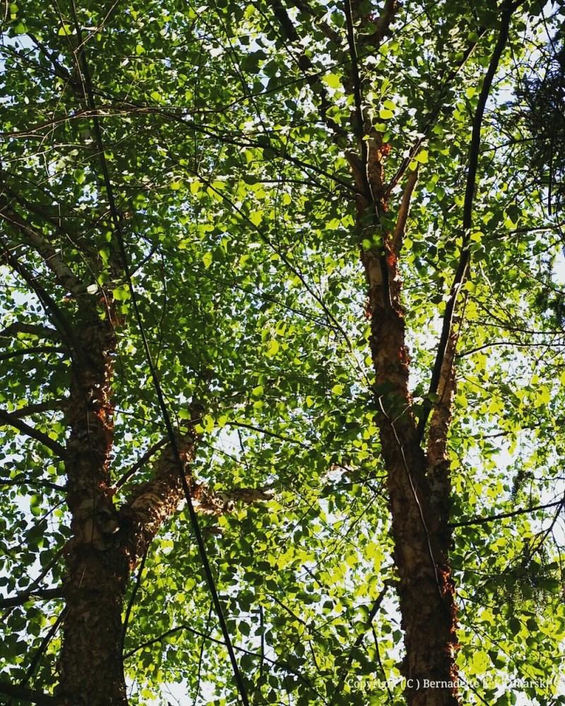 River birches.