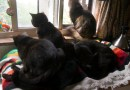 Five cats on the rainbow blanket, sort of.