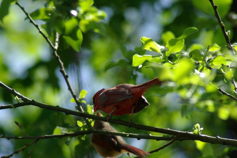 """Father's Day"", a father and daughter cardinal, on father's day."