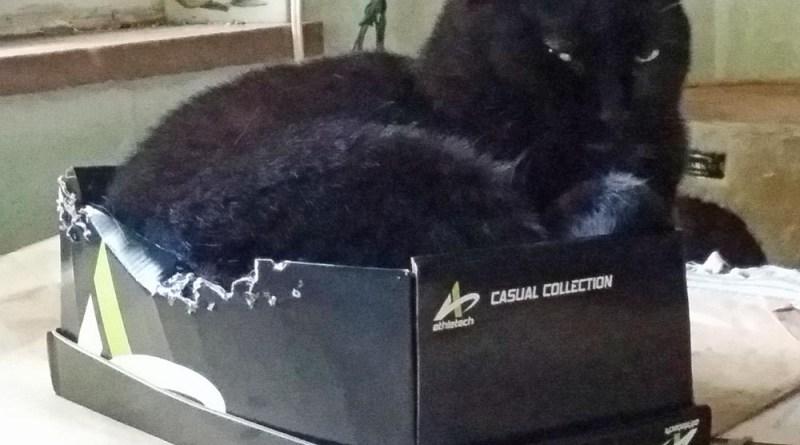 black cat in shoe box
