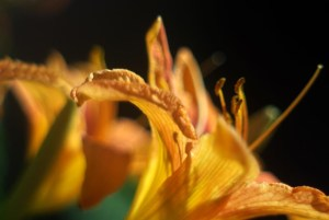 Common daylilies, also called tiger lilies, which does not make them friendly to cats.