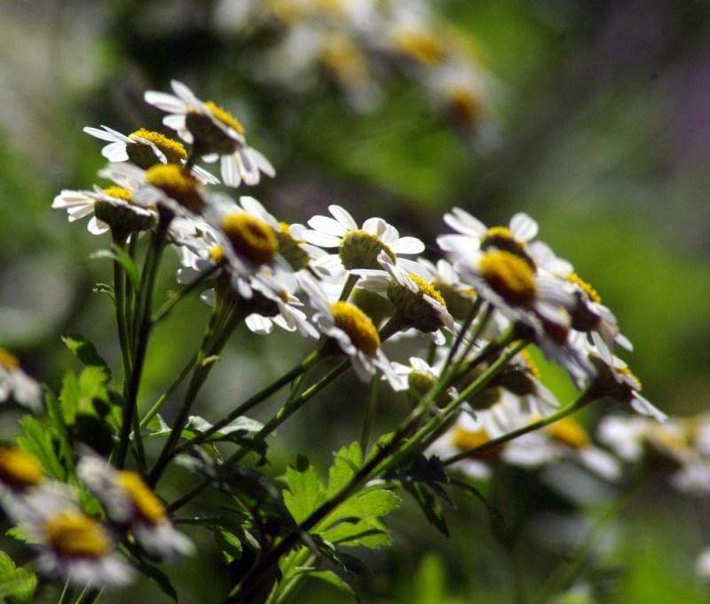 Feverfew in July, in my garden