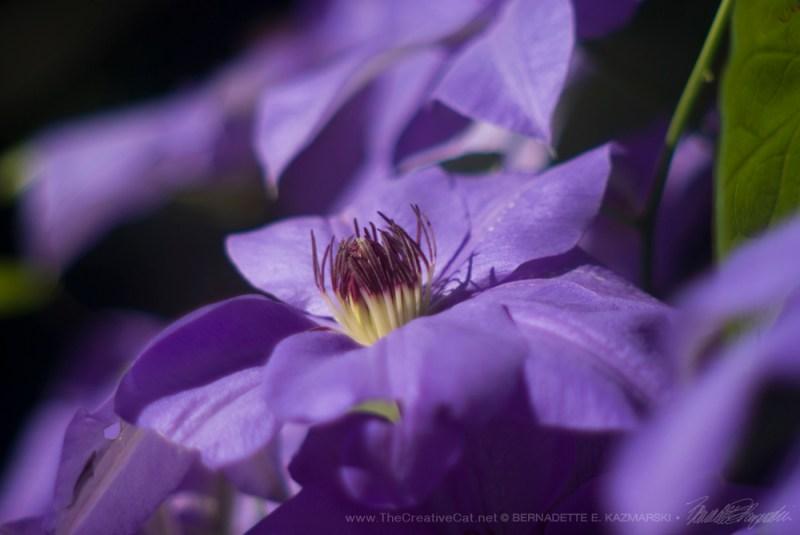Clematis flower, closeup.