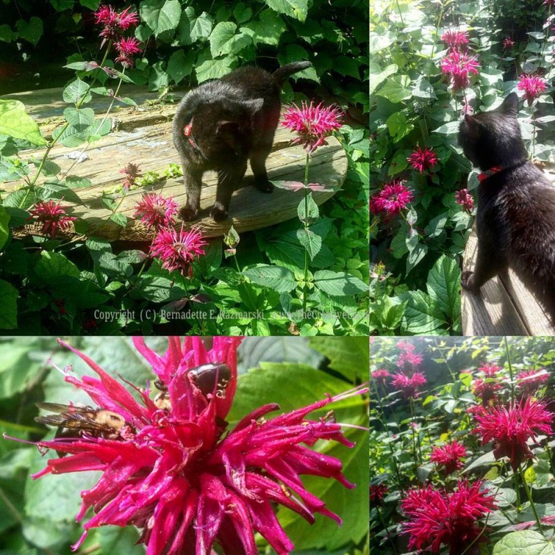 A collage of Mimi with the bee balm this morning.