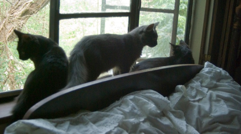 All three kittens enjoy the new channel on Cat TV.