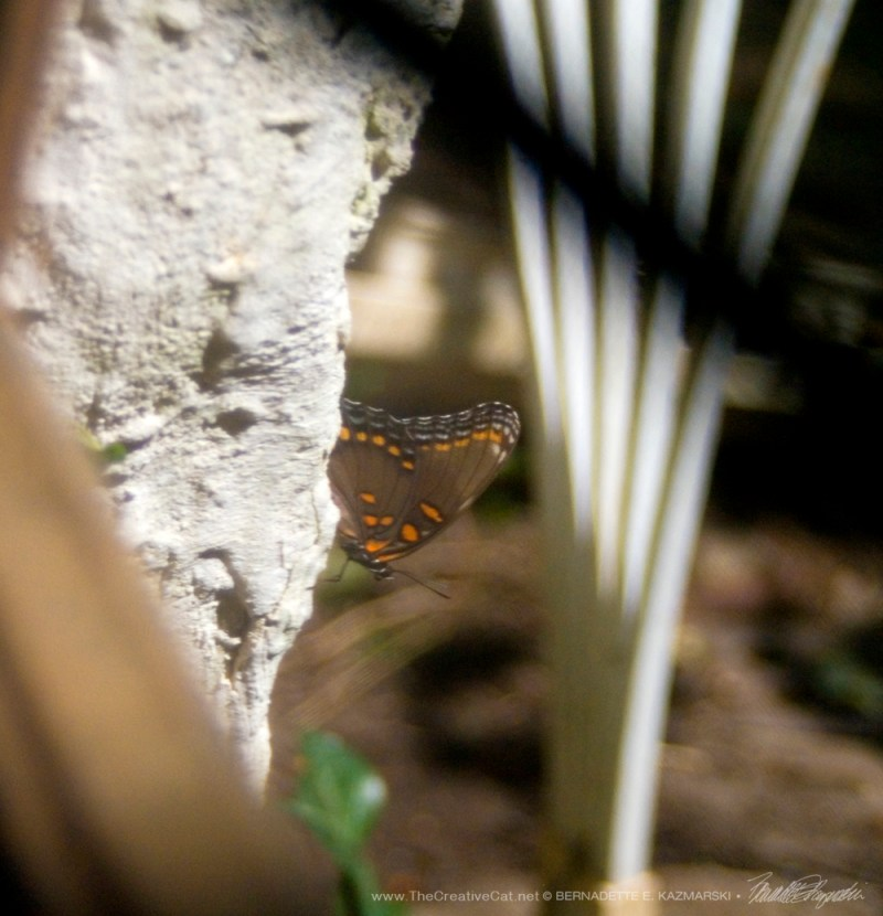 A red-spotted purple.