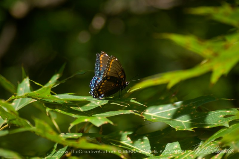 A red-spotted purple visits us after the dove release.