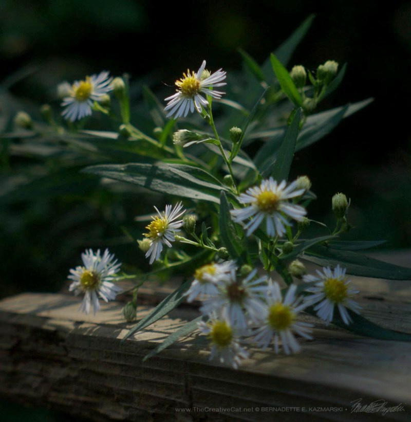 Many Flowered Aster leaning over the picnic table.