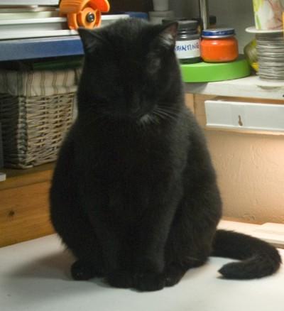 black cat napping.