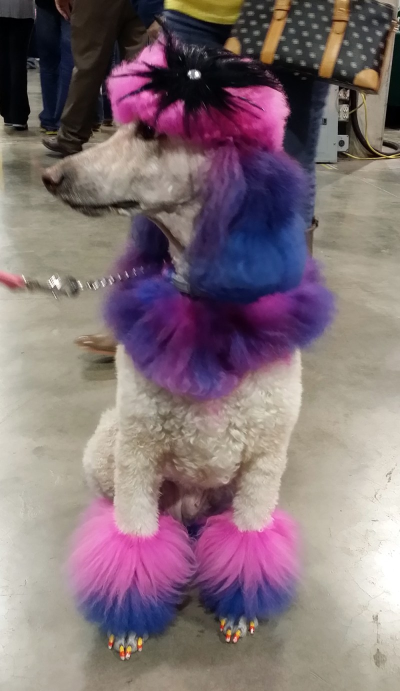 poodle with dyed fur