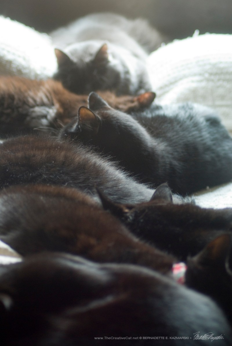 seven cats, six black cats one gray cat, daily cat photo