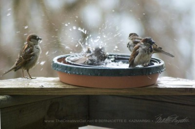 Sparrow fun in the bird bath.