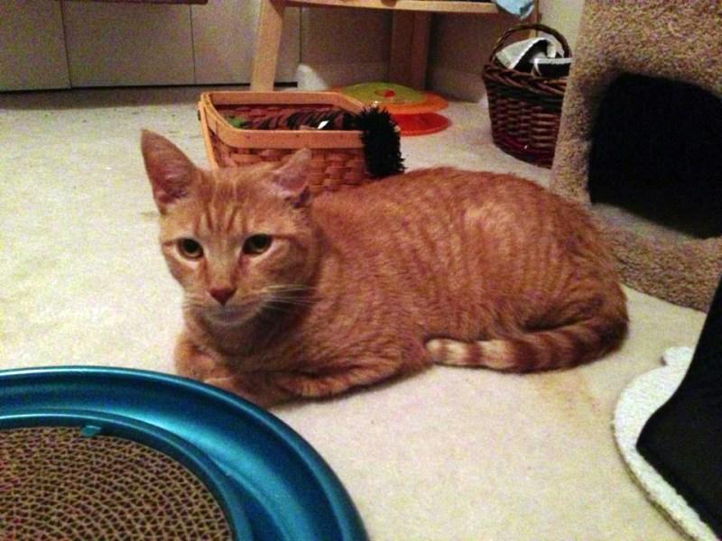 orange cat with toys