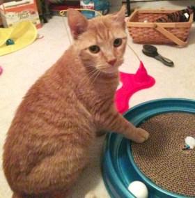 orange cat with track
