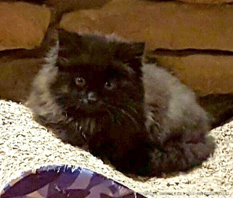 Tinkerbell. black kitten