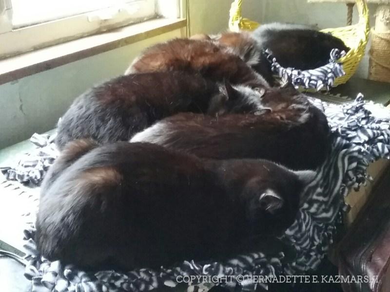 Six black cats on the magic cat beds.