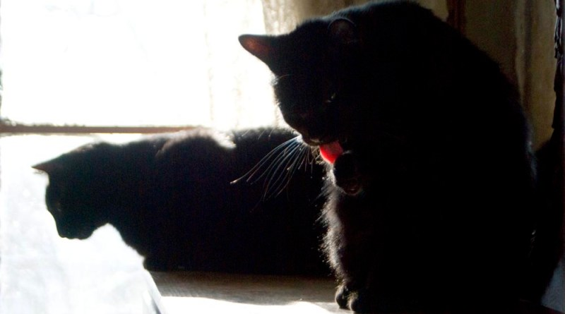 A bright flash of that pink tongue as Mr. Sunshine gives himself a once-over. two black cats