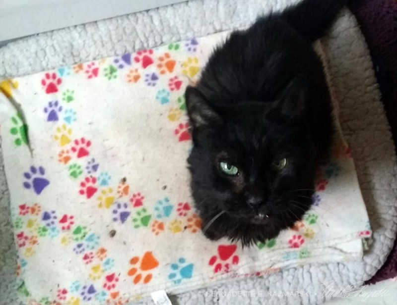 black cat on pawprint blanket