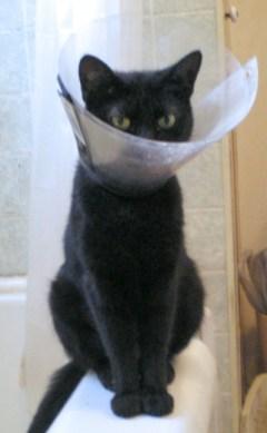 black cat with hard e-collar