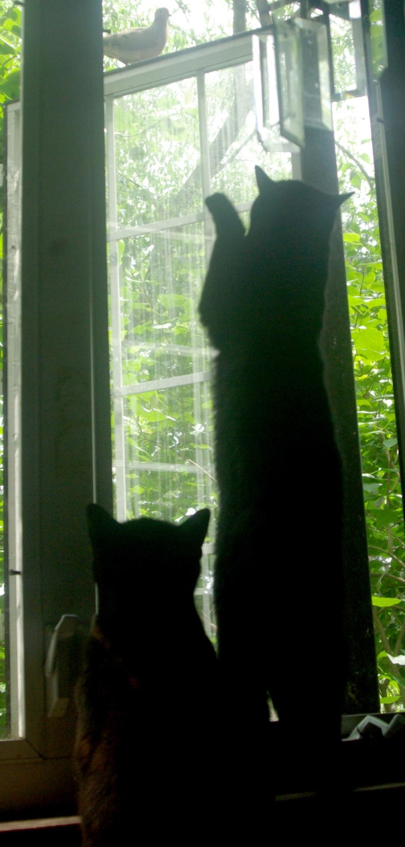 two black cats watching dove