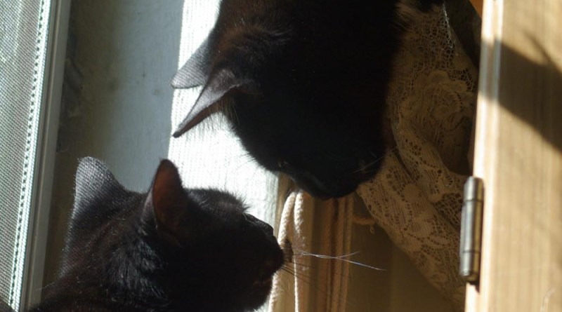two black cats by sunny window