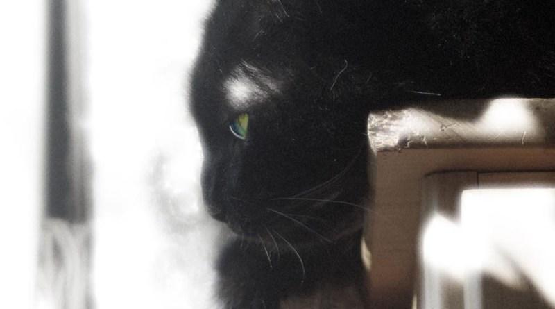 black cat in contemplation
