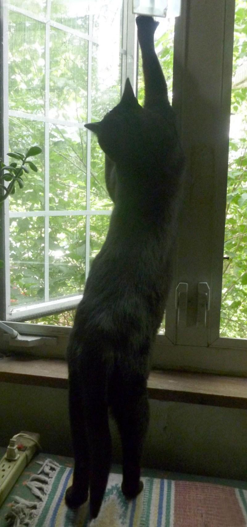 black cat stretching on window