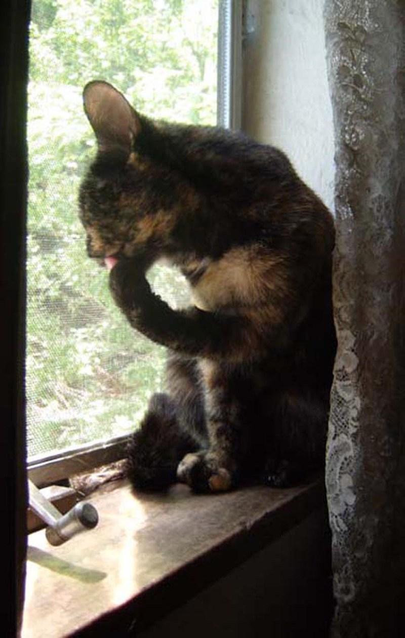 tortoiseshell cat on windowsill cleaning toes