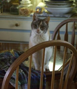 calico cat on the table