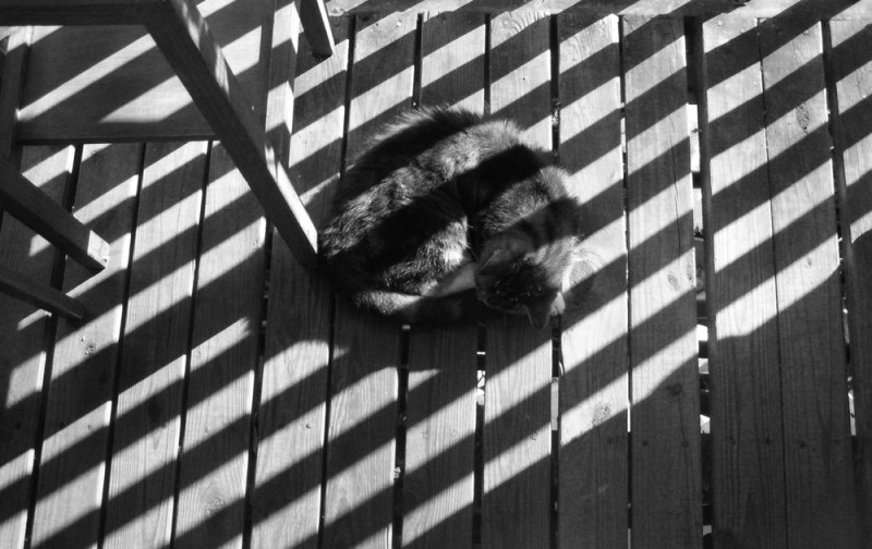 black and white photo of cat with striped shadows