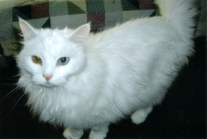 white cat for adoption
