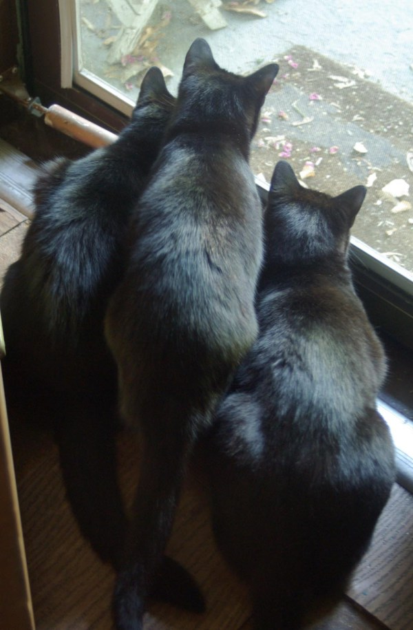 three black cats staring out door